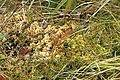 Sphagnum.palustre.2.jpg