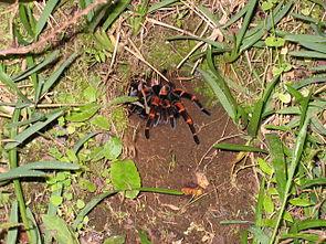 Megaphobema mesomelas in freier Wildbahn (Monteverde)
