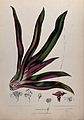 Spiderwort (Tradescantia discolor); leafy plant and separate Wellcome V0042708.jpg