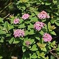 Spiraea japonica s6.jpg