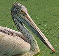 Spot-billed Pelican (Pelecanus philippensis) at Uppalapadu in AP W2 IMG 3456.jpg