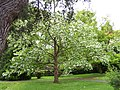 St Davida or Pocket Handkerchief Tree in bloom. - geograph.org.uk - 172253.jpg