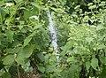 Stabilimentum in a garden spider web (43947).jpg