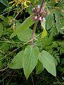 Stachys alpina02.jpg