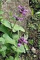 Stachys macrantha kz02.jpg