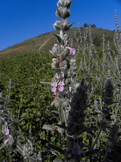 Stachys viticina.JPG