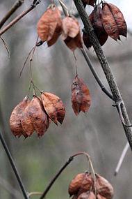 Staphylea trifolia SCA-9964.jpg