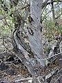 Starr-030202-0082-Myoporum sandwicense-habit-Wailea 670-Maui (24511529042).jpg