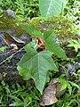 Starr-030807-0057-Aleurites moluccana-seedling-Keanae Arboretum-Maui (24556706891).jpg