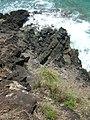 Starr-050419-6543-Cyperus javanicus-habit-Mokolii-Oahu (24118091474).jpg