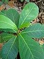 Starr-080608-7647-Terminalia catappa-leaves-West Beach Sand Island-Midway Atoll (24549148759).jpg