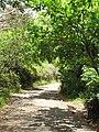 Starr-090617-0981-Terminalia catappa-habit and road-Huelo-Maui (24965264855).jpg