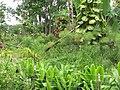 Starr-090623-1584-Cyperus papyrus-flowering habit-Kaeleku-Maui (24340066683).jpg