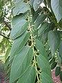 Starr-090623-1711-Trema orientalis-leaves and flower buds-Paani Mai Park Hana-Maui (24340357043).jpg