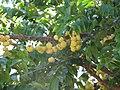 Starr-090714-2684-Phyllanthus acidus-fruit and leaves-Napili-Maui (24342714193).jpg