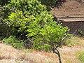 Starr-090721-3289-Adenanthera pavonina-habit-Old Ka Lima nursery Wailuku-Maui (24602904959).jpg