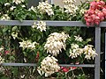 Starr-090806-4059-Mussaenda sp-white with yellow flowers-Kahului-Maui (24344986953).jpg