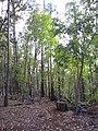 Starr-091029-8699-Fraxinus uhdei-fall foliage and trail-Olinda-Maui (24356569694).jpg
