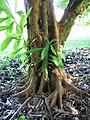 Starr-091104-0982-Dillenia indica-trunk and bark-Kahanu Gardens NTBG Kaeleku Hana-Maui (24894652411).jpg