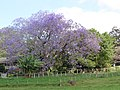 Starr-100504-5967-Jacaranda mimosifolia-flowering habit-Hanamu Rd Makawao-Maui (25037605355).jpg
