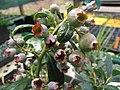 Starr-110621-6251-Vaccinium hybrid-Southern highbush cv Sunshine fruit-Hawea Pl Olinda-Maui (25097255345).jpg