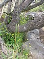 Starr-110811-8093-Lapsana communis-flowering habit-Halemauu Trail HNP-Maui (25077007836).jpg