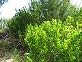 Starr-120412-9330-Conocarpus erectus-habit-Waihee Coastal Preserve-Maui (25138366005).jpg