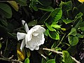 Starr-130312-2359-Gardenia augusta-flower and leaves-Pali o Waipio Huelo-Maui (25207196945).jpg