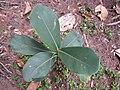 Starr-130319-3149-Clusia rosea-sapling-Kilauea Pt NWR-Kauai (24578074954).jpg