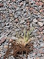 Starr-130514-2143-Festuca rubra-seeding habit pulled out-Science City-Maui (25184595156).jpg
