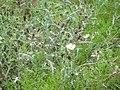 Starr-130809-2975-Argemone glauca x mexicana-perhaps flowering habit-Kula-Maui (25233633876).jpg