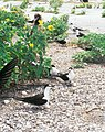 Starr-990518-0821-Verbesina encelioides-with Sterna fuscata and Kim-Eastern Island-Midway Atoll (23898760424).jpg