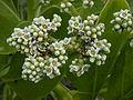 Starr 010520-0072 Tournefortia argentea.jpg
