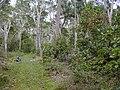 Starr 020501-0060 Cinchona pubescens.jpg