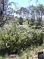 Starr 030702-0087 Plumbago auriculata.jpg