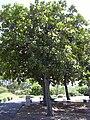 Starr 040318-0067 Calophyllum inophyllum.jpg