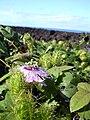 Starr 040410-0018 Passiflora foetida.jpg
