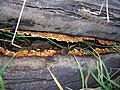 Starr 041211-1298 Eucalyptus sp..jpg
