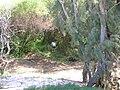 Starr 050128-3289 Casuarina equisetifolia.jpg