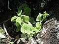 Starr 050419-0422 Plectranthus parviflorus.jpg