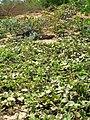 Starr 060216-5991 Solanum nelsonii.jpg