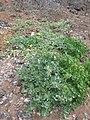 Starr 060228-8839 Chenopodium oahuense.jpg