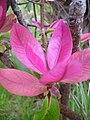 Starr 060325-9004 Myrsine lanaiensis.jpg