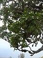 Starr 060429-9491 Tetraplasandra oahuensis.jpg
