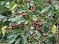 Starr 070617-7323 Coffea arabica.jpg