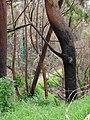 Starr 070908-9224 Eucalyptus robusta.jpg