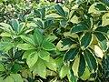 Starr 071024-0388 Schefflera arboricola.jpg