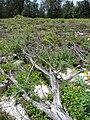 Starr 080610-8376 Casuarina equisetifolia.jpg