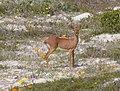 Steenbok (44701555442).jpg