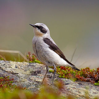 Northern wheatear Species of bird